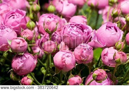 Beautiful Pink Pion-shaped Rose. Bouquet Shrub Roses..