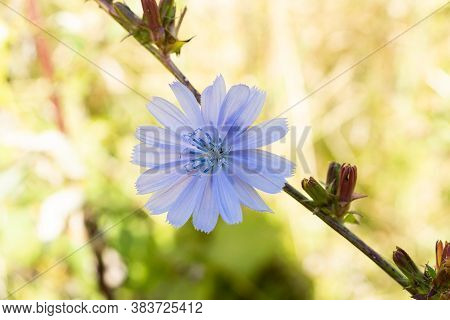 Blue Chicory Flowers, Chicory Wild Flowers On The Field. Blue Flower On Natural Background. Flower O