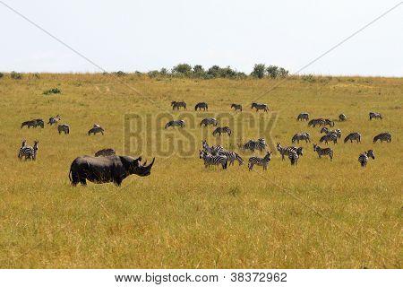 Spitzmaul-Nashörner und zebras