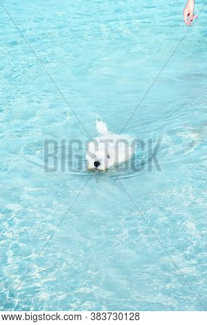 West Highland Terrier White Dog Swimming Through Crystal Sea Water In The Cove Of An Island