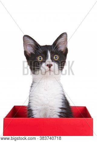 Black And White Tuxedo Kitten Sitting In A Red Box Looking Upwards Slightly To Viewers Right. Isolat