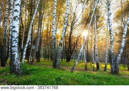 Birch Grove. Autumn Sunny Morning. Colorful Leaves. Sunbeams Make Their Way Through The Trunks Of Bi