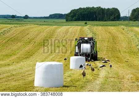A Meadow With A Hay Press, Wrapped Hay Bales And Lots Of Storks