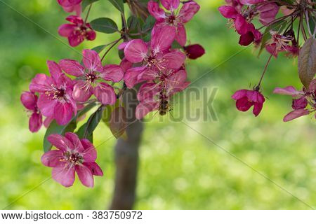 Pink Apple Blossom. Trees Are Blooming In The Park. Apple Blossom On The Park Background. Flowering