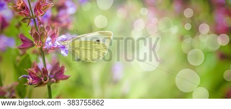 Pieris Rapae On Purple Flowers Salvia Officinalis. Small White, Small Cabbage White And White Butter