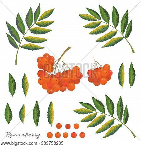 Vector Autumn Collection. Rowanberry Plant Details Berries, Leaves And Branches On A White Backgroun