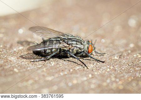 Common Flesh Fly (sarcophaga Carnaria) Macro On The Windowsill