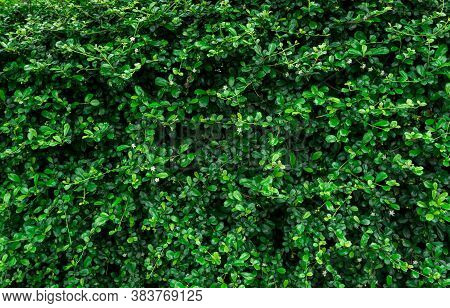 Closeup Evergreen Hedge Plants. Small Green Leaves In Hedge Wall Texture Background. Eco Evergreen H