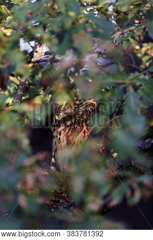 The Northern Goshawk (accipiter Gentilis), Young Female Hawk With Colorful Background. A Hawk Sits T
