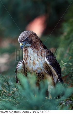 The Red-tailed Hawk (buteo Jamaicensis) Sitting On A Redwood With A Colored Background. Portrait Of