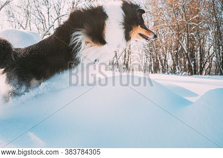 Funny Young Shetland Sheepdog, Sheltie, Collie Fast Running And Jumping Outdoor In Snowy Park. Playf