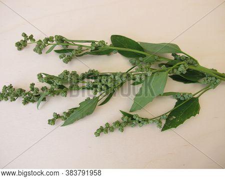 White Goosefoot With Seeds, Chenopodium Album, Wild Herb