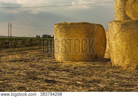 Round Bales Of Hay Are Stacked In A Field After Harvesting Wheat. Rolls Of Golden Straw On A Wheat F