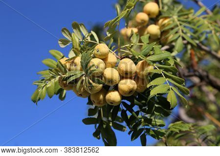 The Fruits Of The Sorbus Domestica Ripen On The Branches Of The Tree