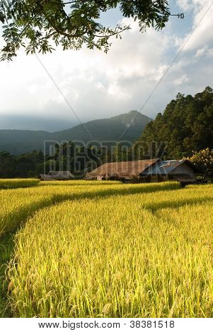 Sunset Over Golden Rice Field In Mae Klang Luang Village, Thailand