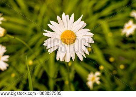 Field Of Camomiles At Sunny Day At Nature. Camomile Daisy Flowers, Field Flowers, Chamomile Flowers,