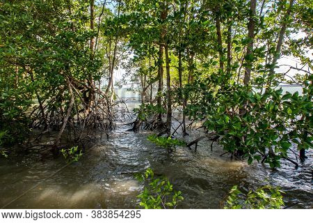 Dense Mangrove Forest With Trees Growing In Coastal Water Of Pulau Ubin Island, Singapore, Chek Jawa