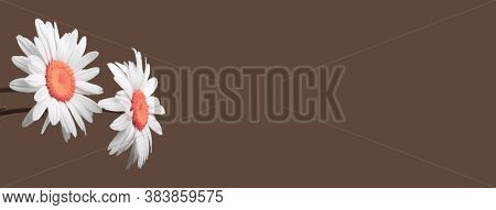White camomile flower on brown horizontal background.