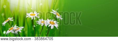 White camomile flower on grass horizontal long  background.