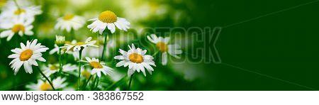 White camomile flower on blur green grass horizontal background.