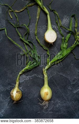 Organic onions with leaves on dark textured surface. Food background. Bulb onions, green spring. Top view.