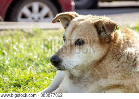 A Homeless City Dog With A Chip In His Ear Lying On The Grass Against The Background Of Passing Cars