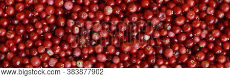 Banner For The Site, Ripe Lingonberry Berry.