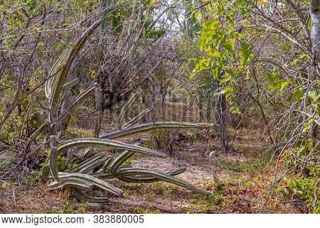 Baja California Sur, Mexico - November 23, 2008: Dense Typical Vegetation In Dry Forests Of Sierra D