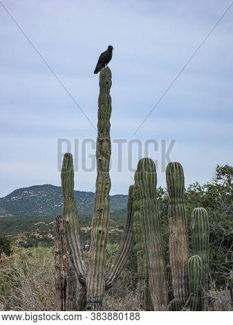 Baja California Sur, Mexico - November 23, 2008: Dry Forests Of Sierra De La Laguna. Vulture Op To O