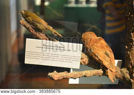 Manila, Ph - Oct 20 - National Museum Of Natural History Babbler Bird On October 20, 2018 In Manila,