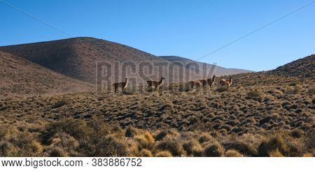Herd Of Guanacos (lama Guanicoe) Spotted In The Steppes Of Villavicencio Natural Reserve, In Mendoza