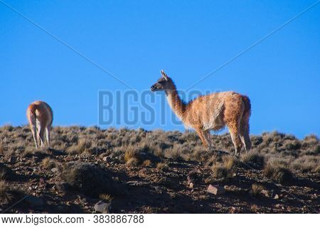Two Guanacos (lama Guanicoe) Spotted In The Steppes Of Villavicencio Natural Reserve, In Mendoza, Ar
