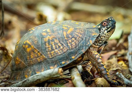 An Eastern Box Turtle In The Forest. Raleigh, North Carolina.