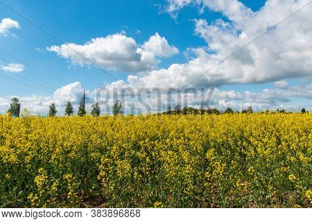 Springtime Rural Landscape With Flowering Rapeseed Field And Blue Sky With Clouds