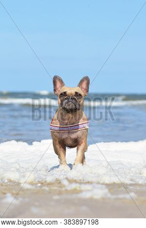 Small Brown French Bulldog Dog With Maritime Harness Standing In Sea Foam At Beach On A Sunny Summer