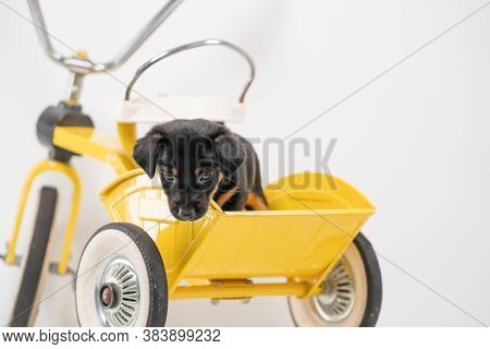 Jack Russell Terrier Puppy, 2 Months Old, Puppy Sits In The Back Of A Yellow Tricycle