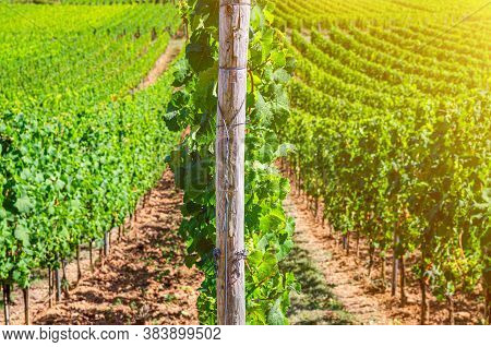 Grapevine Wooden Pole And Rows Of Vineyards Green Fields Landscape With Grape Trellis On River Rhine