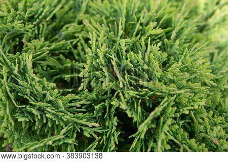 A Branch Of Cypress Cedar. Thuja Occidental Shrub Is An Evergreen Coniferous Tree In The Cypress Fam