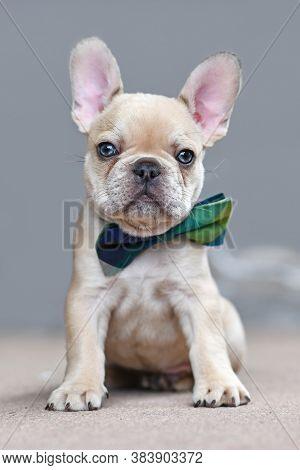 Adorable Young Lilac Fawn Colored French Bulldog Dog Puppy Wearing A Bow Tie Sitting In Front Of Gra