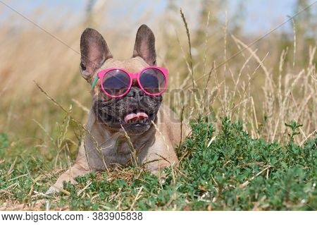 Funny Cute And Happy French Bulldog Dog Wearing Pink Sunglasses In Summer While Lying On Ground In F