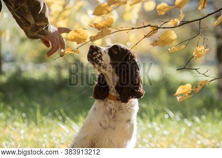 White And Brown Obedient Springer Spaniel Dog Outdoors On The Grass In Autumn Under An Autumn Branch