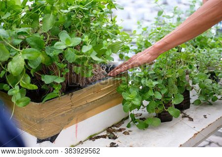 Hydroponic Vegetable Root Growing In Box In Farm