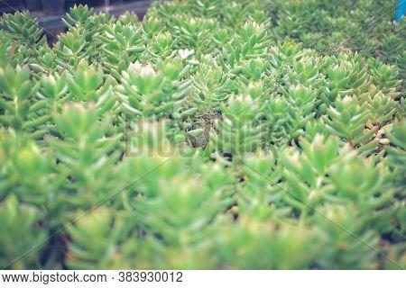 Growing Sedum Succulent Plant In Farm.