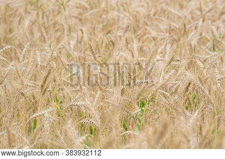 Ripe Wheat Crops In Shallow Focus. Seasonal Agricultural Background. Shallow Depth Of Field.