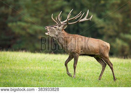 Territorial Red Deer Stag Roaring In Rutting Season On Meadow.