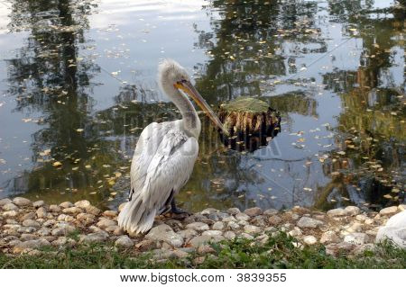 Pelican Near The  Lake
