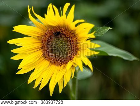 Sunflower in the field late summer with a bee