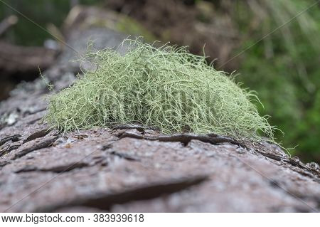Usnea Are Commonly Called Old Mans Beard, Or Beard Lichen. Macro Photo In Carpathian Mountains In Th