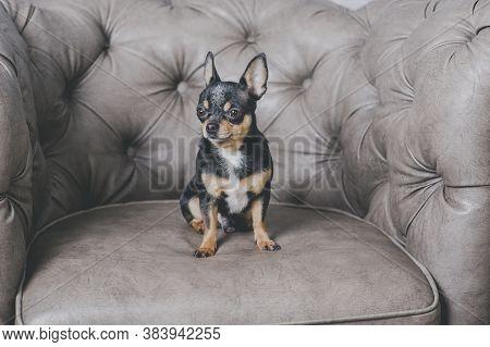 Dog Portrait.mini Black Beige White Chihuahua On Grey Sofa. Black Brown White Chihuahua. A Pet Is Si