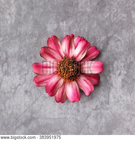 Rose Flower Isolate.  Pink Zinnias On A Gray Textured Background.